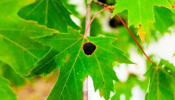 Lenior Tree Service black spots on maple tree leaves